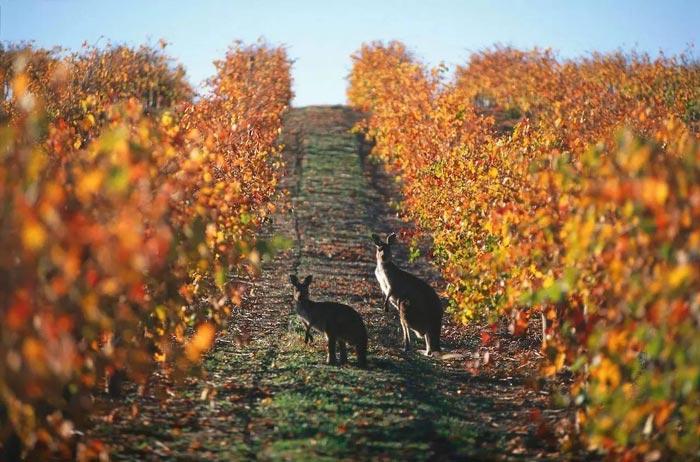 kangaroos-blackwood-valley.jpg