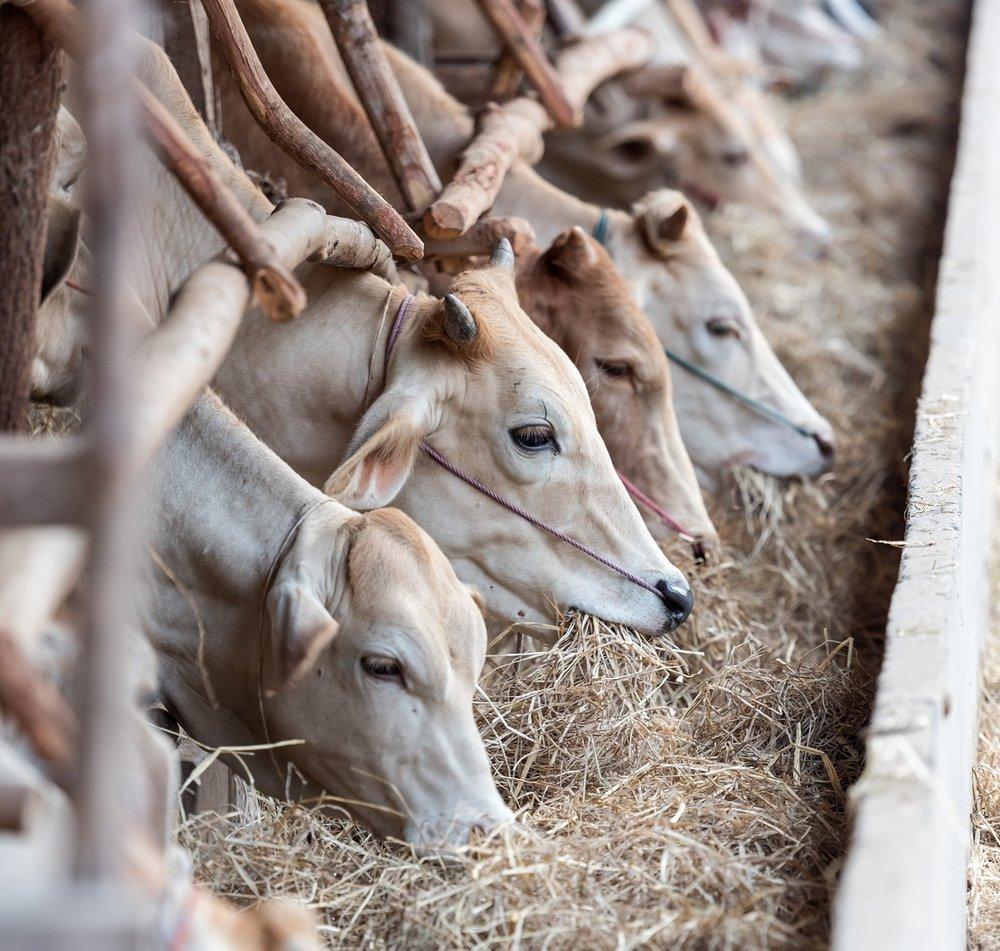 livestock-1822698_1920.jpg