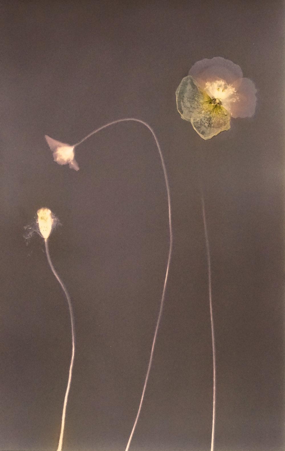 Papaver raeticum | Denise Haschke