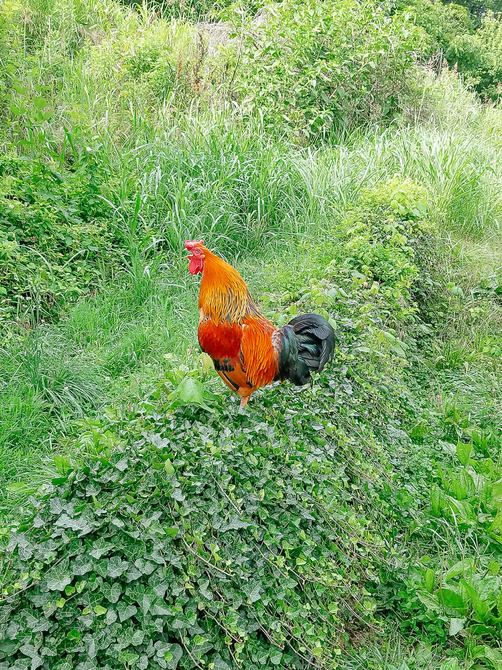 Rooster-AT-Plumbing-Roanoke-Virginia