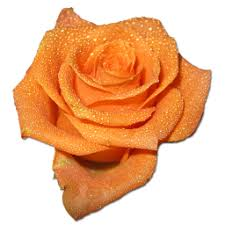 orange dewy rose.jpg