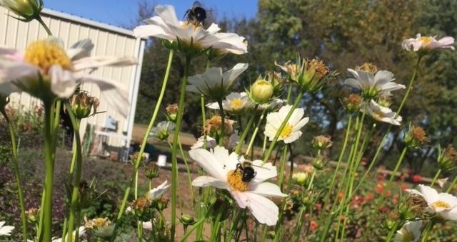 Pollinators abuzz on Cosmos