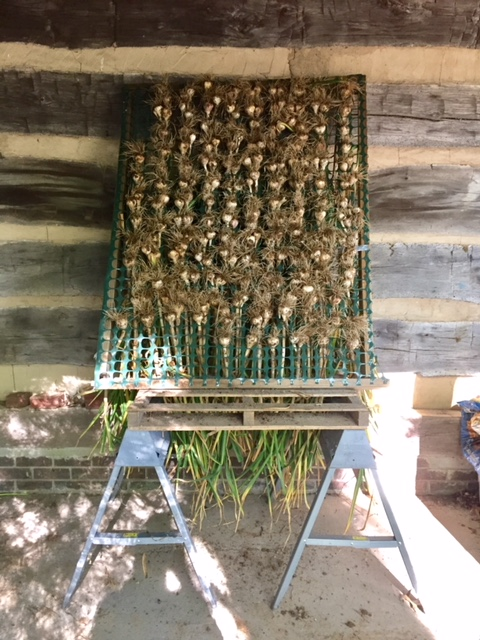 2017 garlic crop drying under log cabin overhang.