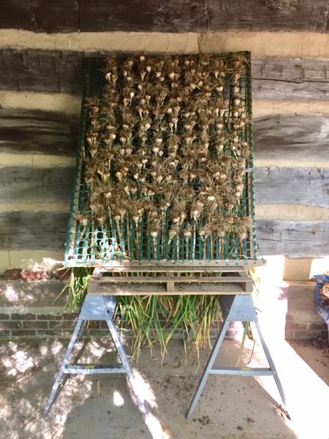 The hard neck garlic crop drying under log cabin overhang.