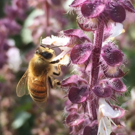 Our favorite pollinator dining on basil in full bloom
