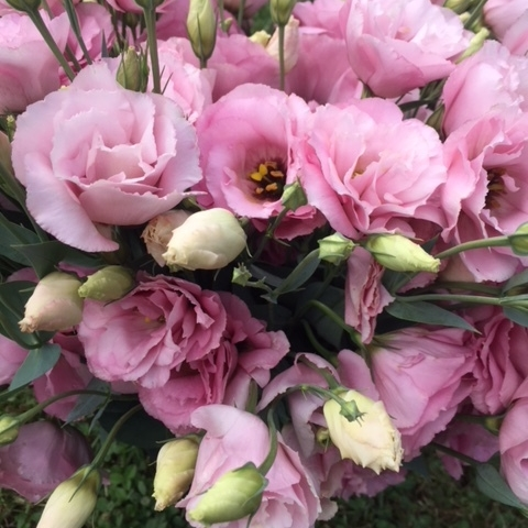 Pink lisianthus, this flower farmer's favorite color