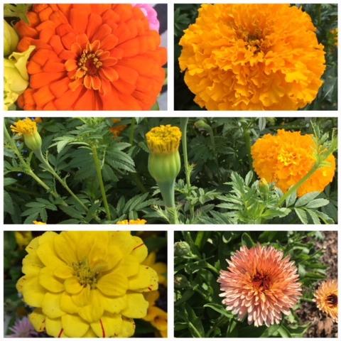 Darnell_orange_yellow_collage.JPG