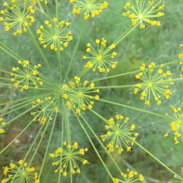 Bouquet Dill in full bloom ready for you to add into your own bouquet