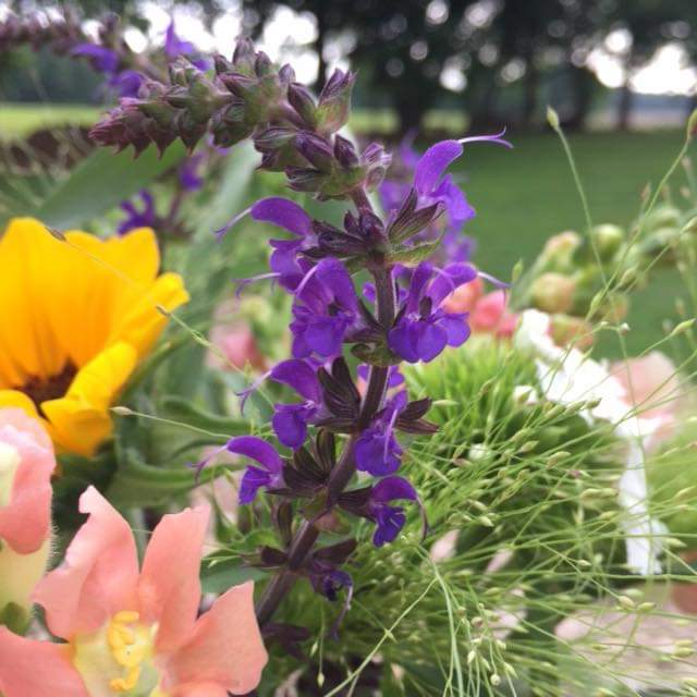 May Knight Salvia, a spring time favorite!