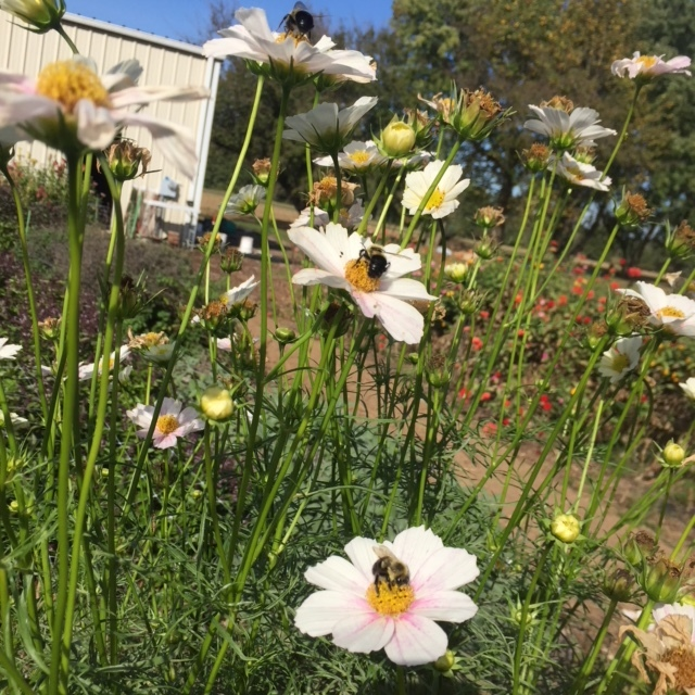 Bumble Bees foraging on Cosmos ready to join you on your walk about on the Farm
