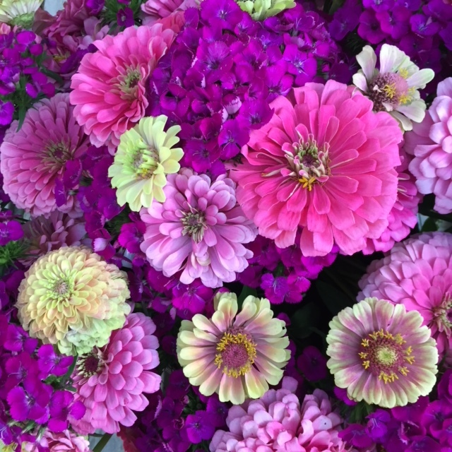 Pink and lime zinnias here for you to snap photos of all morning long