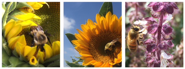 Honey bees, a favorite pollinator are always here on the Farm busy working for me