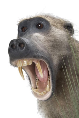 baboon2.jpg