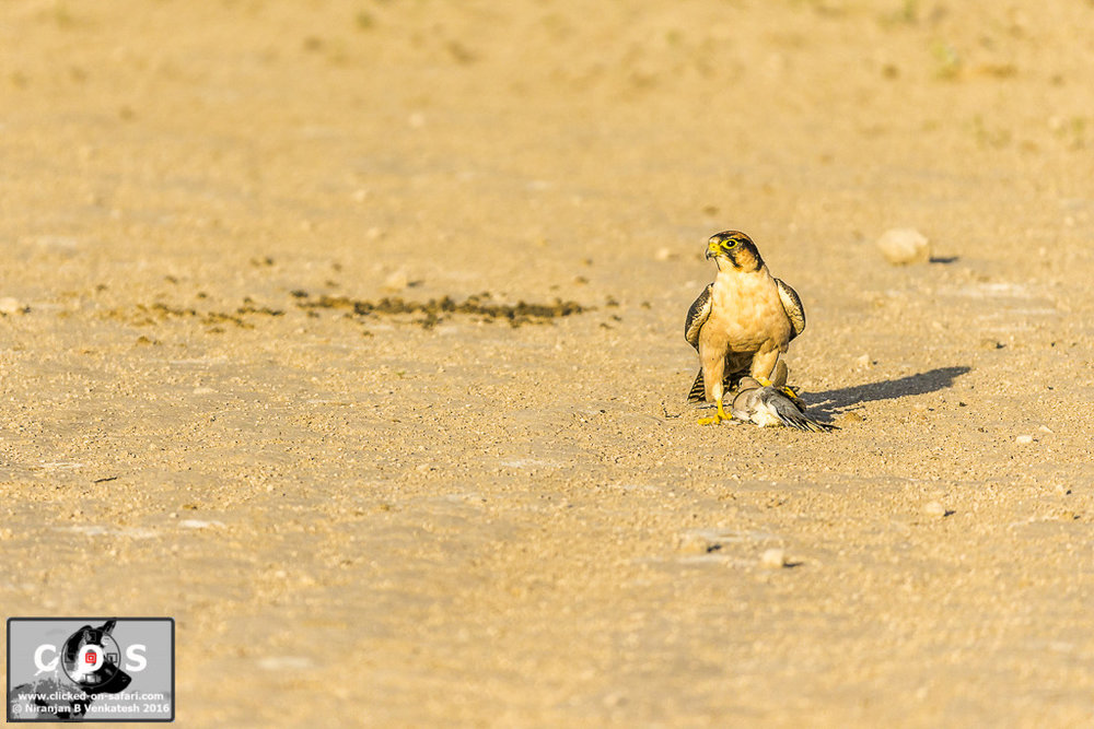 Lanner Falcon with Cape Turtle Dove Kill