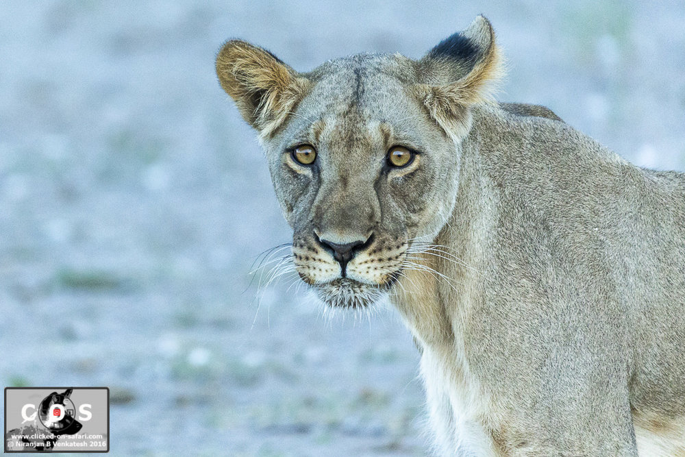 Portrait of a young Lioness !