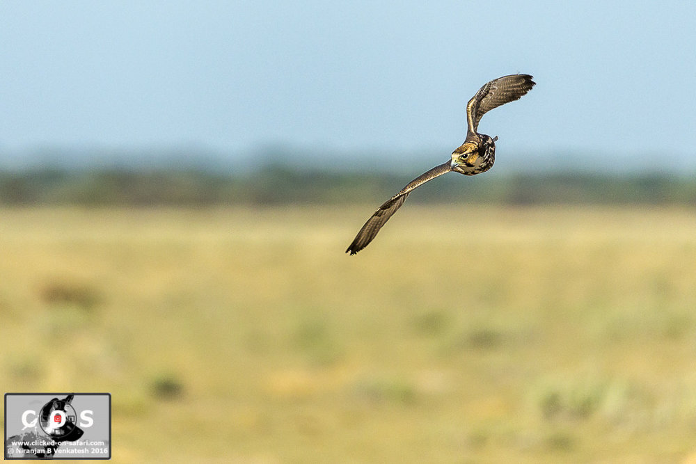 Male Lanner Falcon on the Wing