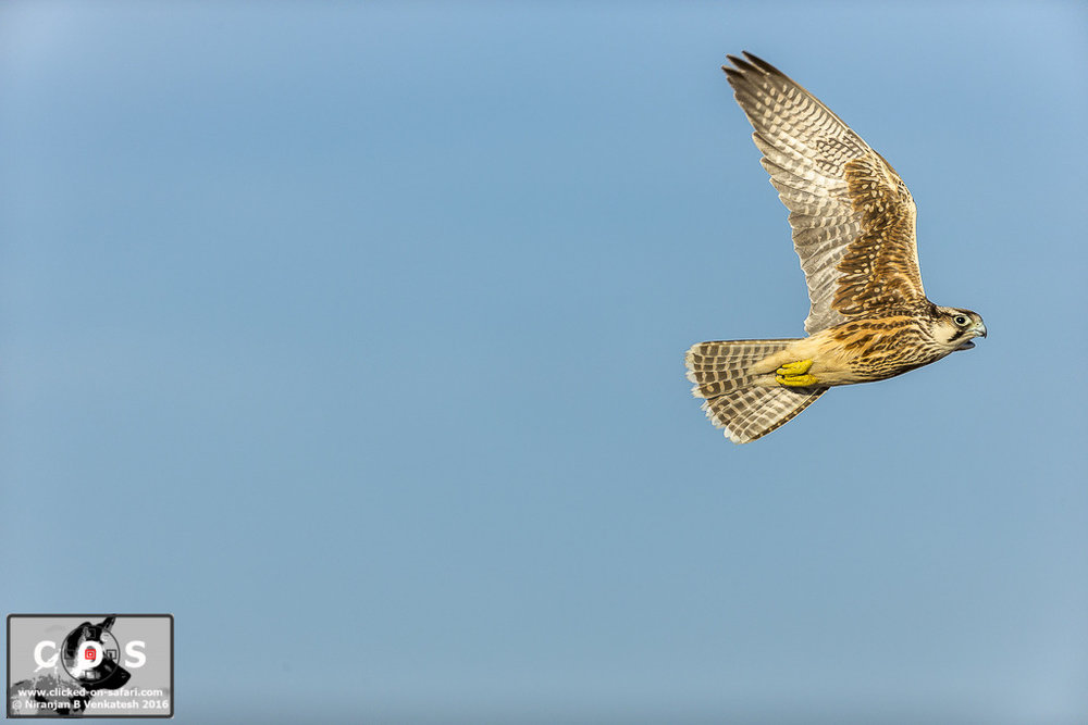 Lanner Falcon in Flight !