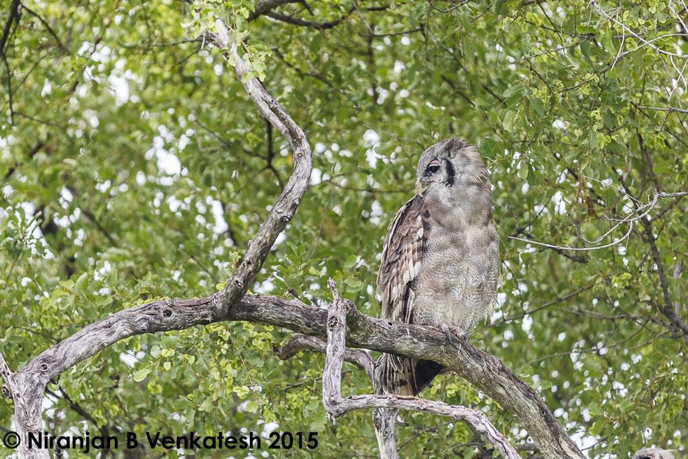 Giant Eagle Owls