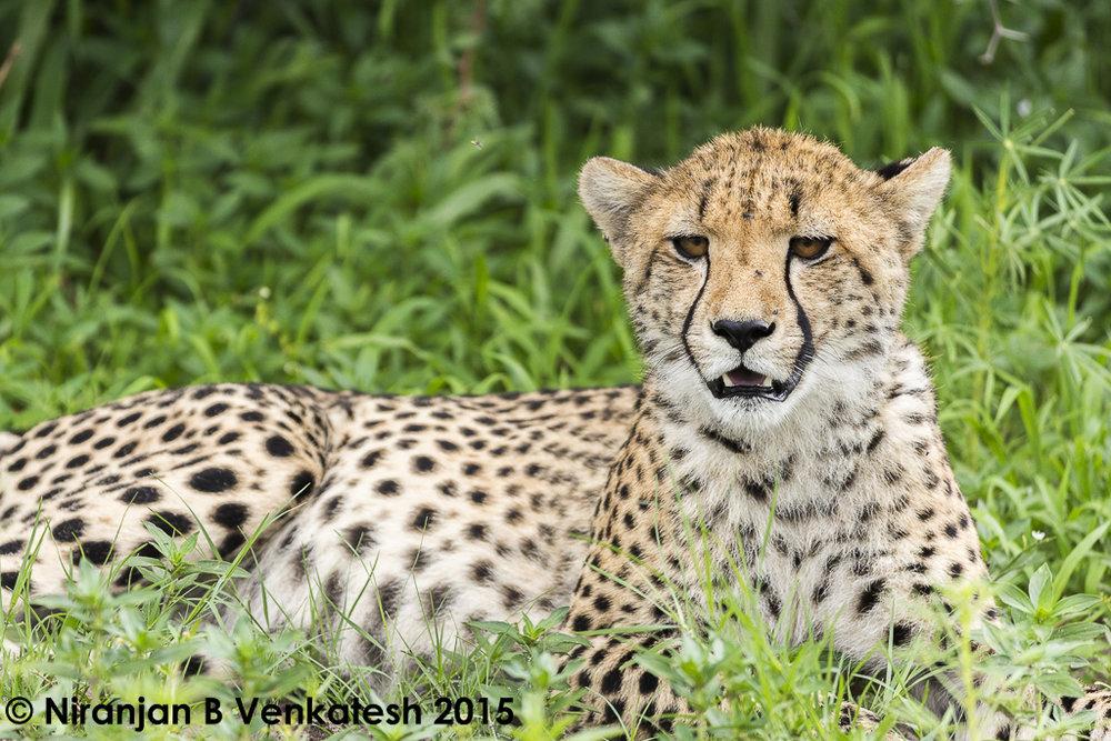 Portrait of a Cheetah !