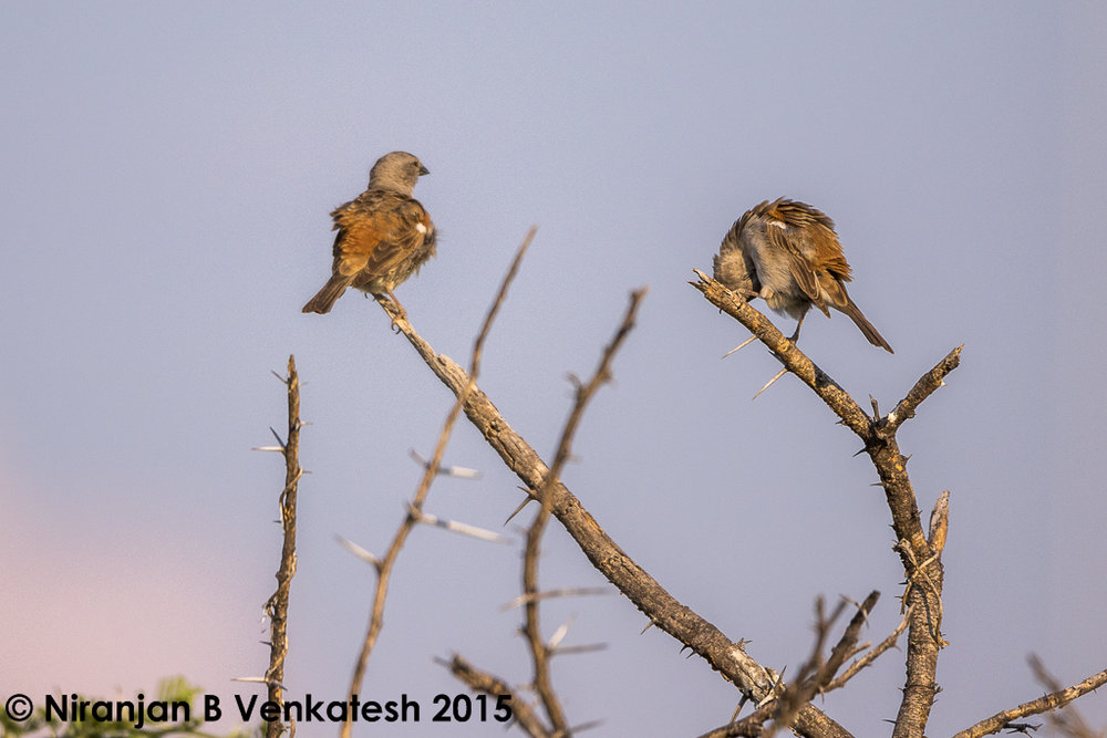 Southern Grey-headed Sparrows
