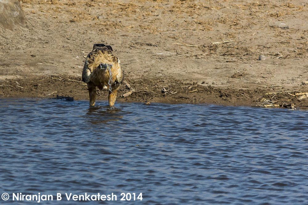 Tawny Eagle drinking water