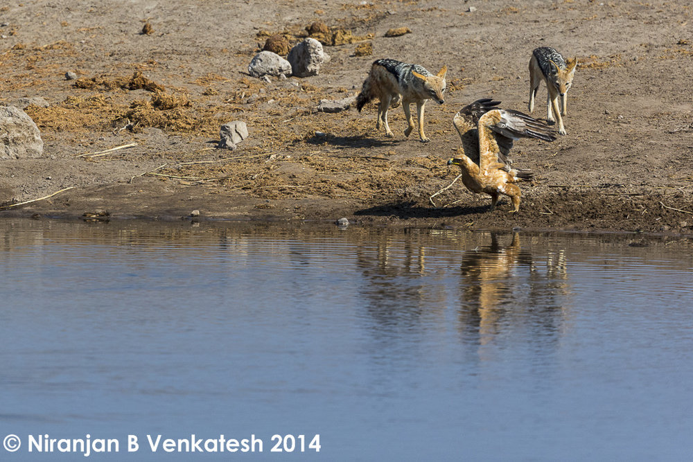 Tawny Eagle  and Balack Backed Jackals