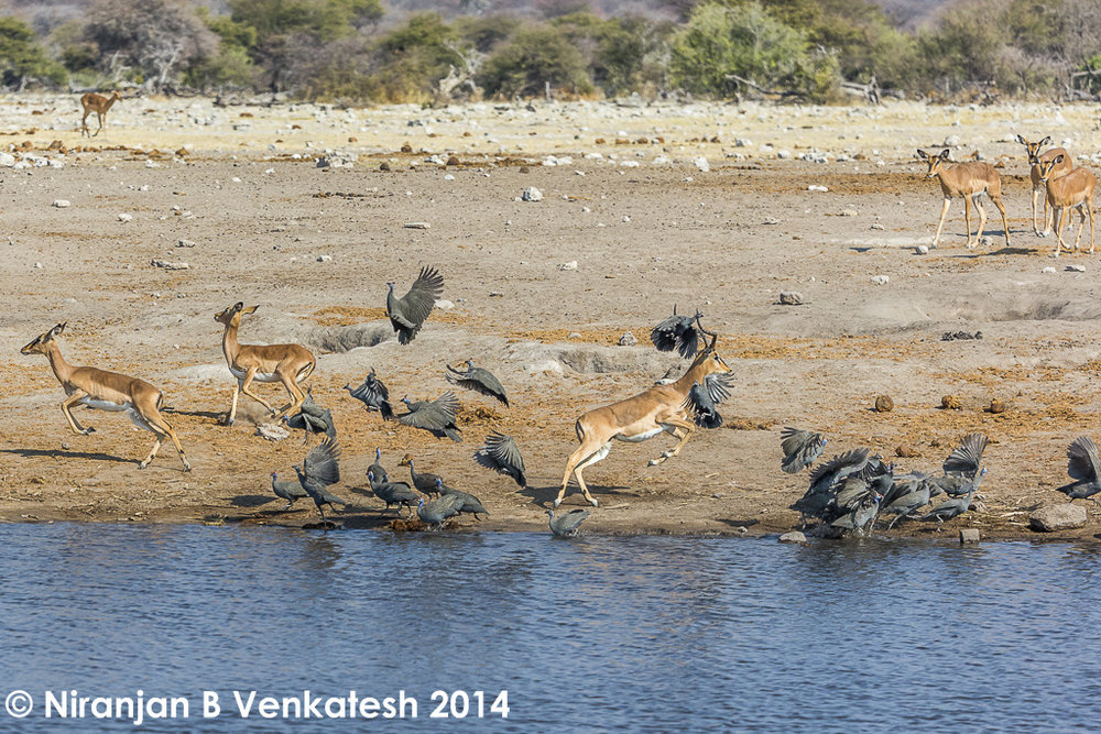 Helmeted Guineafowl and Black Faced Impala