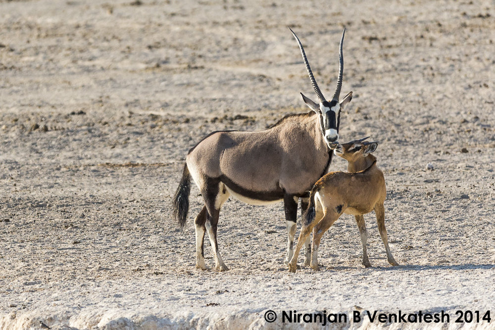 Oryx with calf !