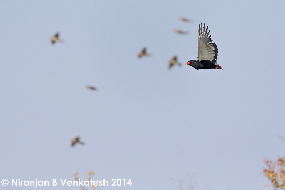 Bateleur being mobbed by Starlings