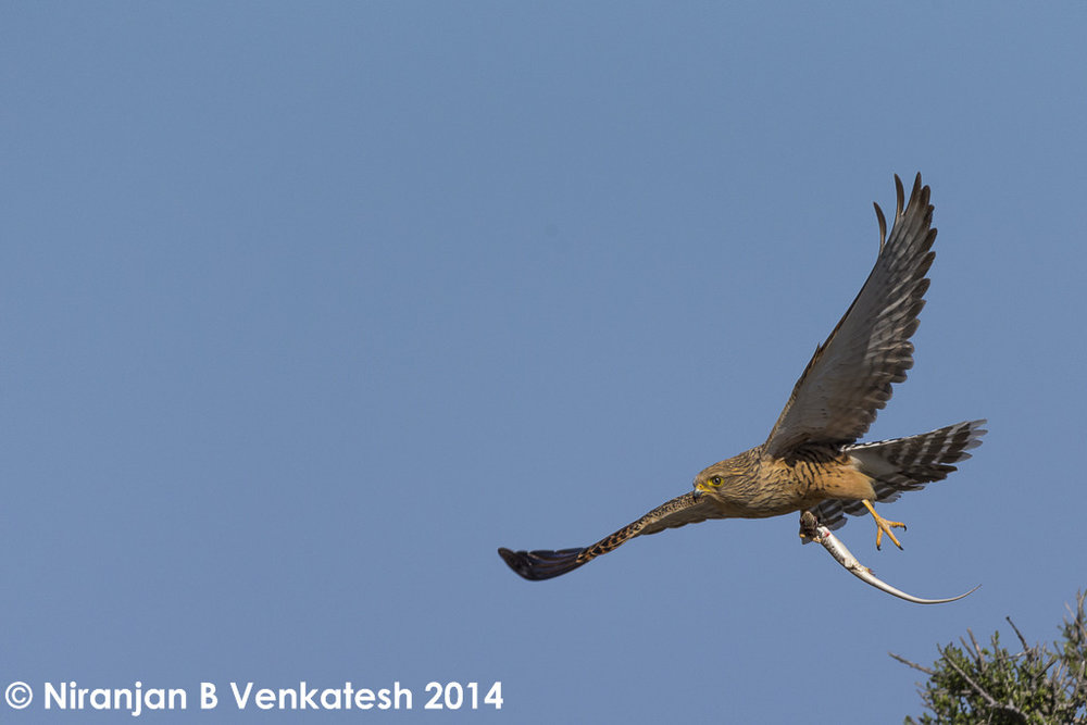 Greater Kestrel with kill