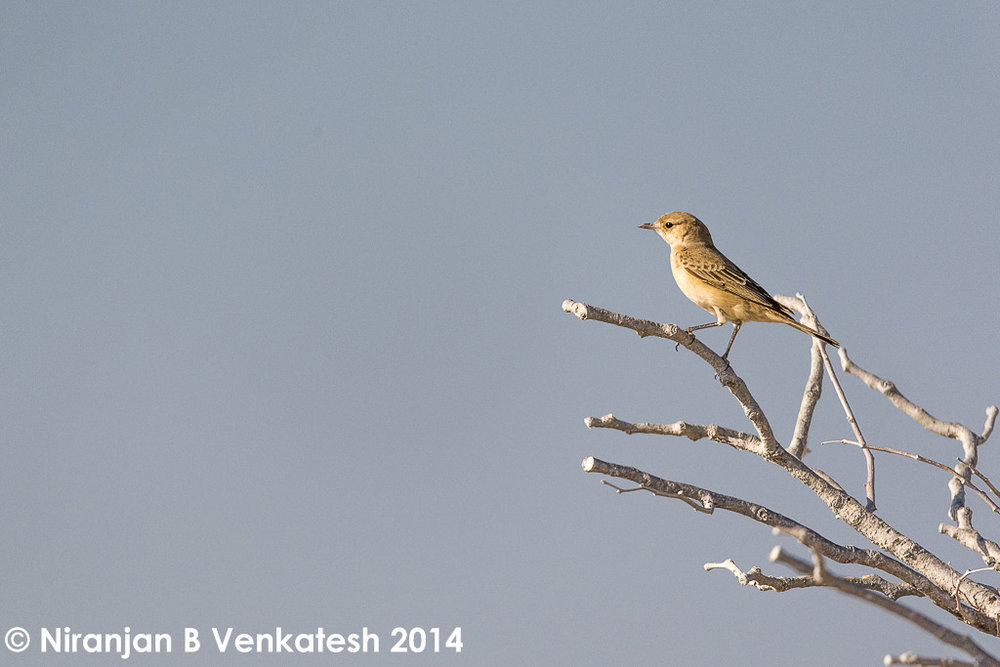 LBJ :- One of the Wheateaters