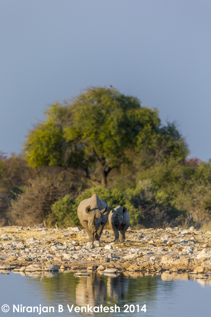 Black Rhino with calf