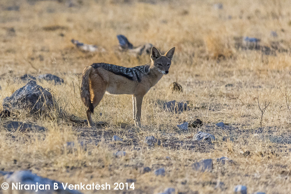 Alert Black-backed Jackal