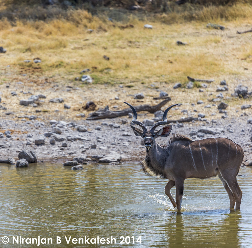 Bull Greater Kudu