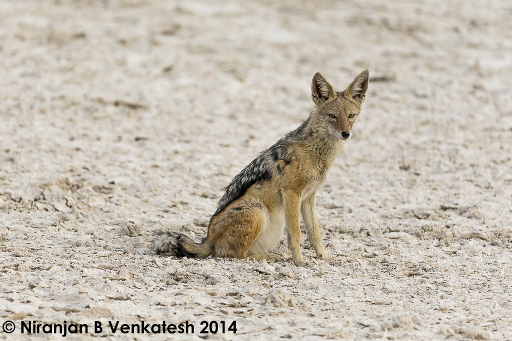 Chilled Jackal !