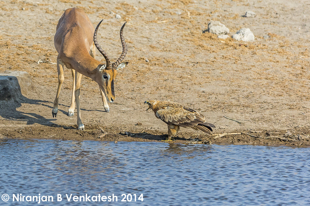 Back Chat ! Black-faced Impala and Tawny Eagle