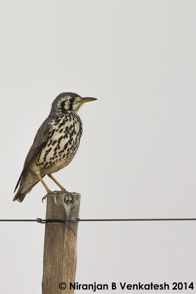 Groundscaper Thrush