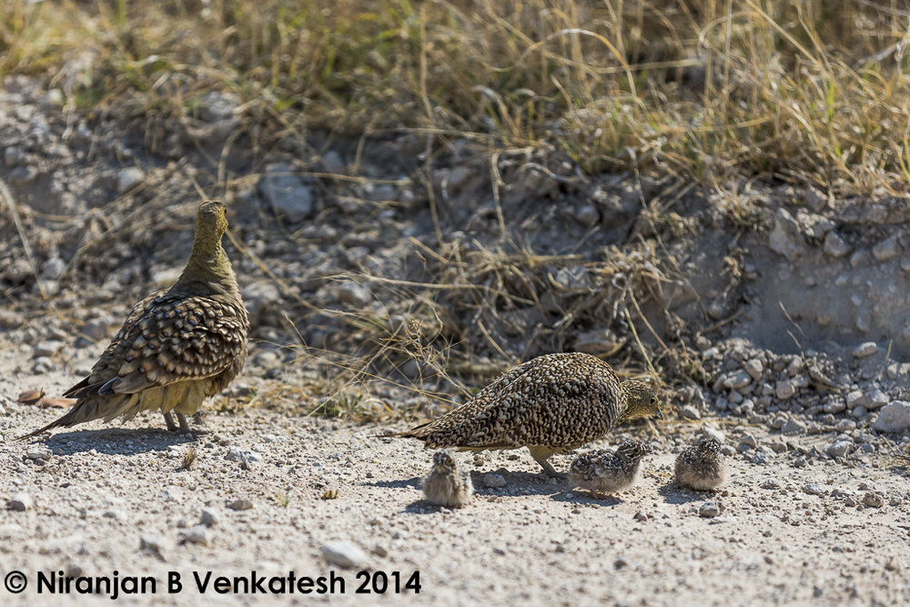 Namaqua Sandgrouse Family