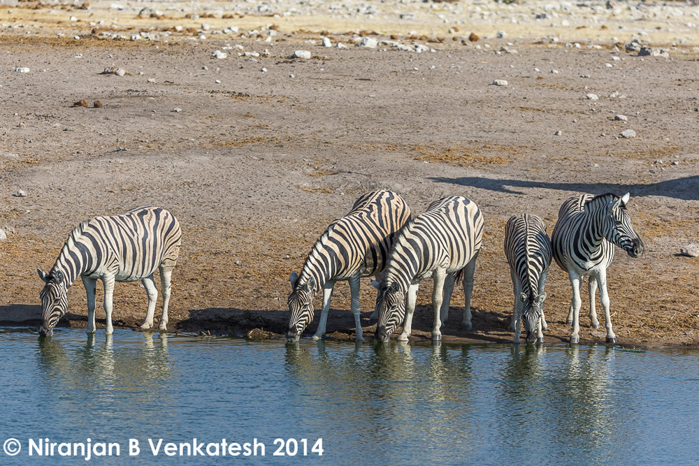 Plains Zebras at Waterhole