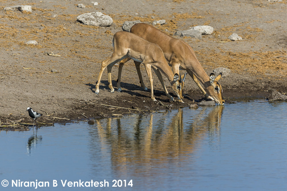 Black-faced Impala with young Ram