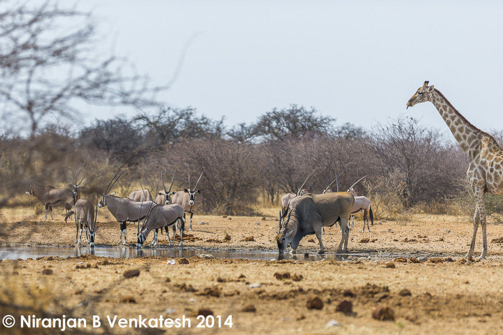 Oryx, Eland and a Cheeky Giraffe !