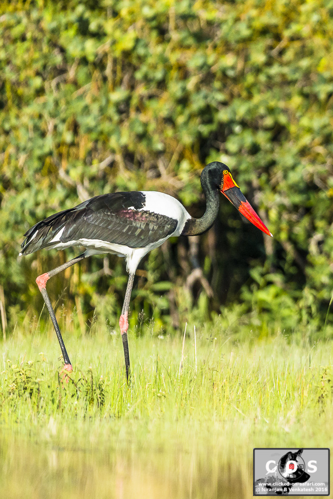 Female Saddle-billed Stork