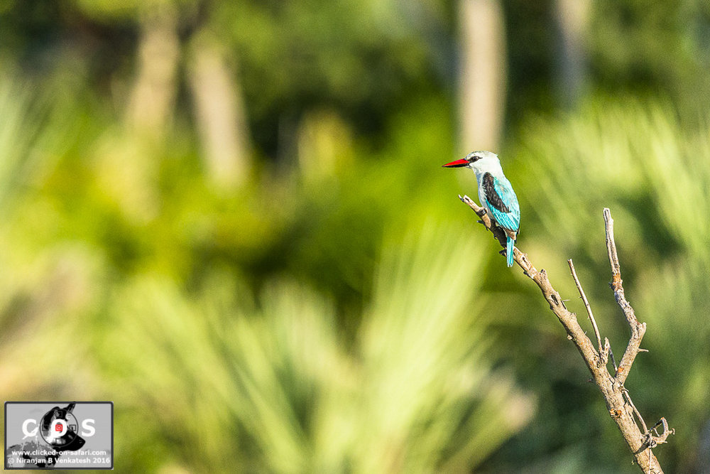 Woodlands Kingfisher