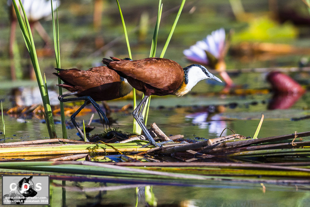 Pair of African Jacana