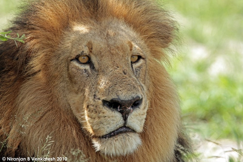 A Tired and Hungry Male Lion
