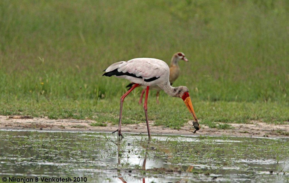 Yellow Billed Stork Trying To Have a Snack