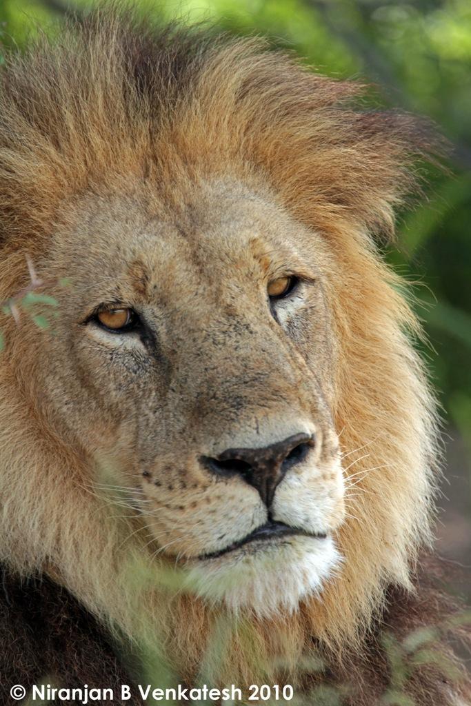 Stunning Adult Chitabe Male Lion