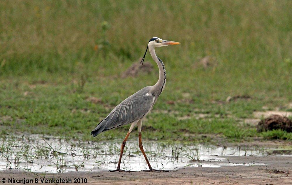 Grey Heron Strutting