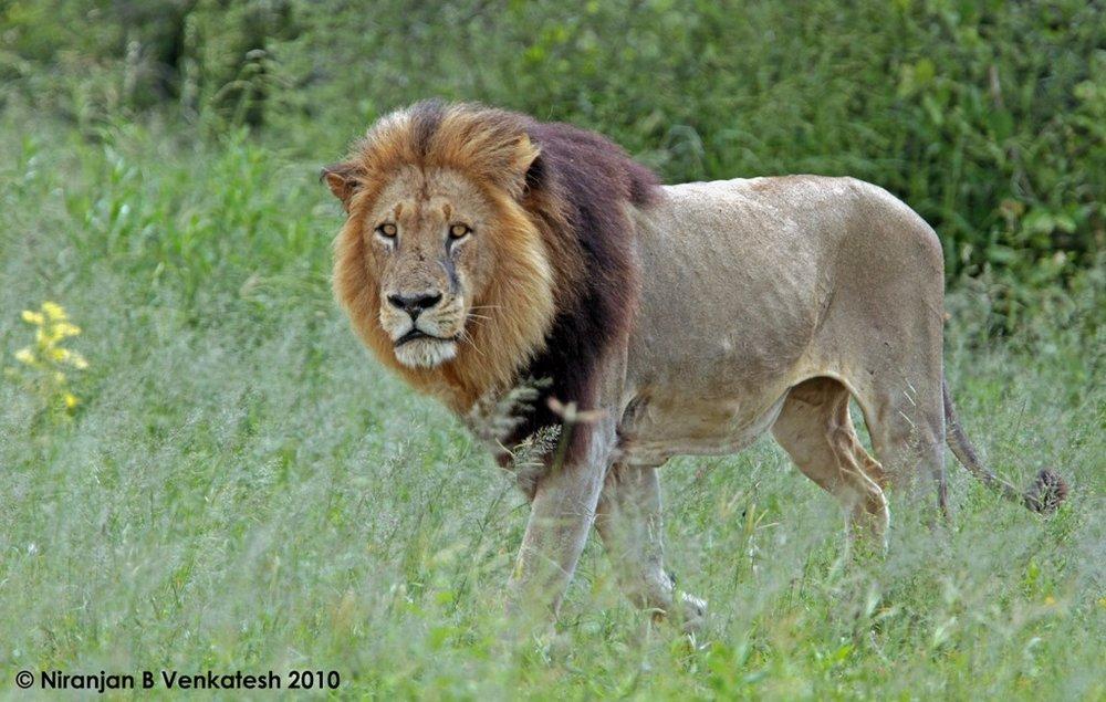 Chitabe Male Lion