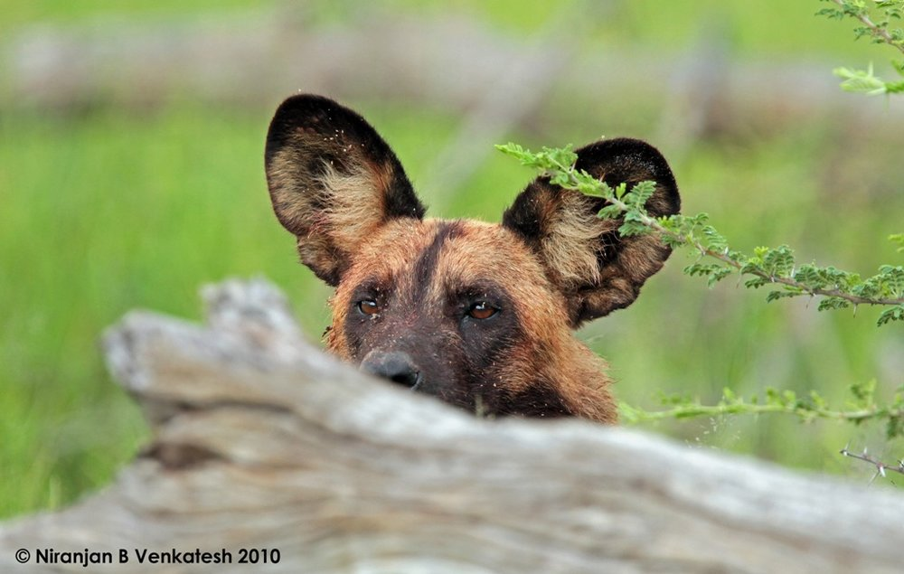 Peeking African Wild Dog